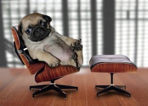 Pug in Chair